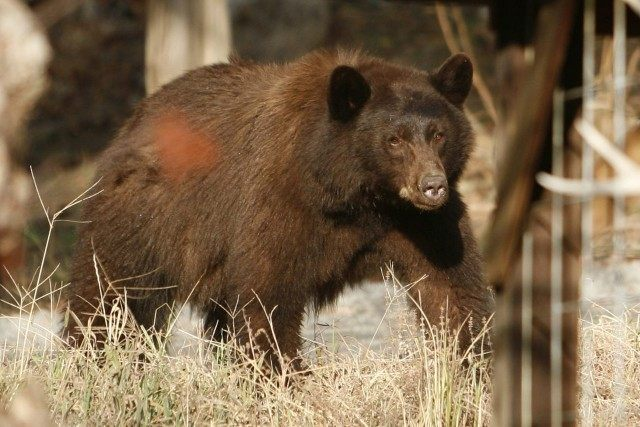 Alberta to ban spear hunting after bear video sparks outrage