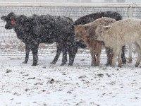 Cattle in Blizzard