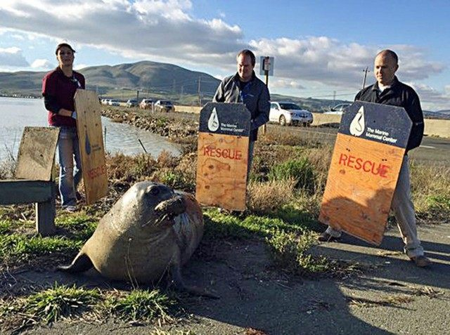 Elephant Seal Crossing (California Hwy Patrol / Associated Press)