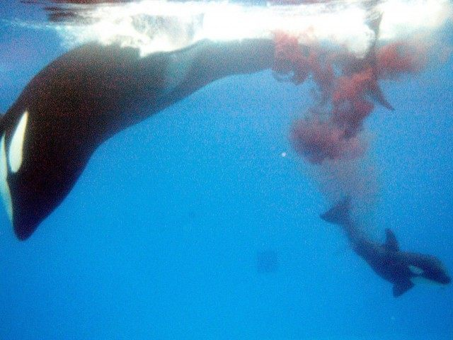 Killer whale birth (SeaWorld / Getty)