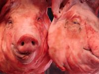 Pig Heads