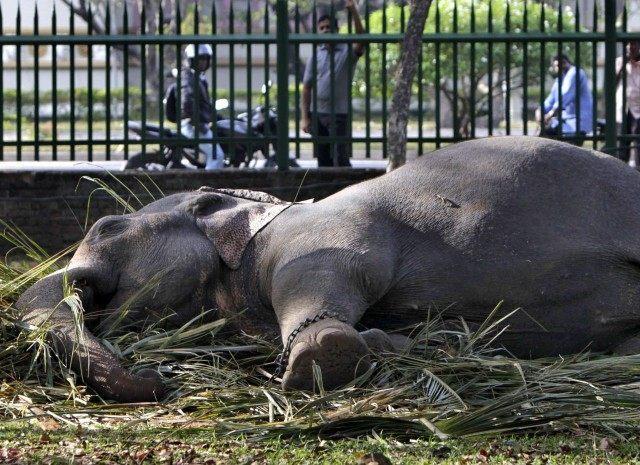 Sleeping elephant (Gemunu Amarasinghe / Associated Press)