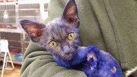 Smurf kitten (Nine Lives Foundation / Facebook)