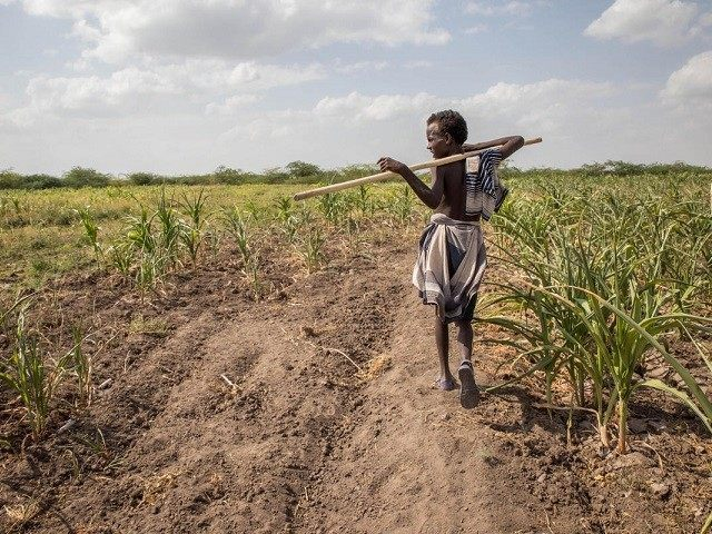 In this photo taken on Tuesday, Jan. 26, 2016, A young Afar boy walks through failed crops and farmland in Magenta area of Afar, Ethiopia. Morbid thoughts linger on people's minds in the area. The crops have failed and farm animals have been dying amid severe drought that has left …