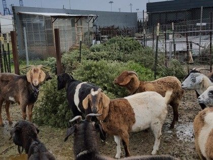 Goats eat Christmas Trees (City Grazing / Facebook)