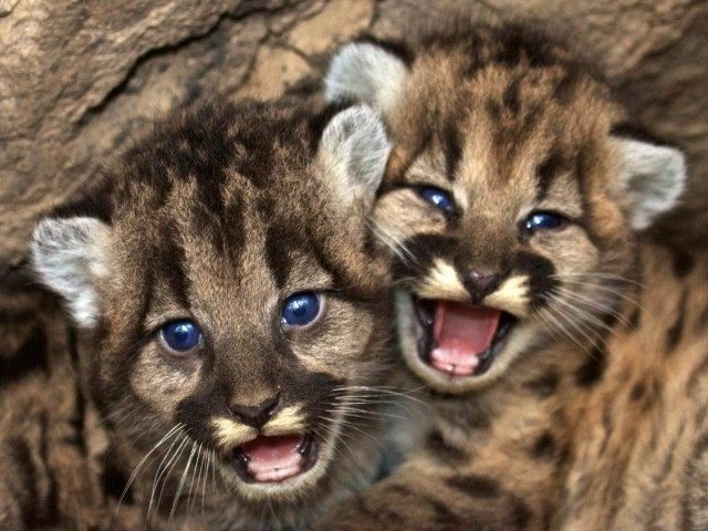 Mountain lions (National Park Service via AP)