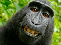Macca monkey selfie (Wikipedia / Public domain)
