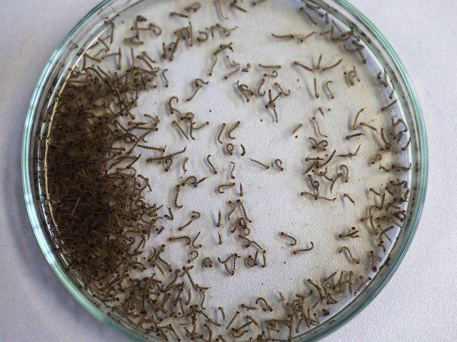 Zika mosquito larvae (Mario Tama / Getty)