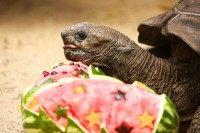 An Aldabra Giant Tortoise eats at Taronga Zoo on December 4, 2015 in Sydney, Australia. Taronga's animals were given special Christmas-themed enrichment treats and puzzles designed to challenge and encourage their natural skills.
