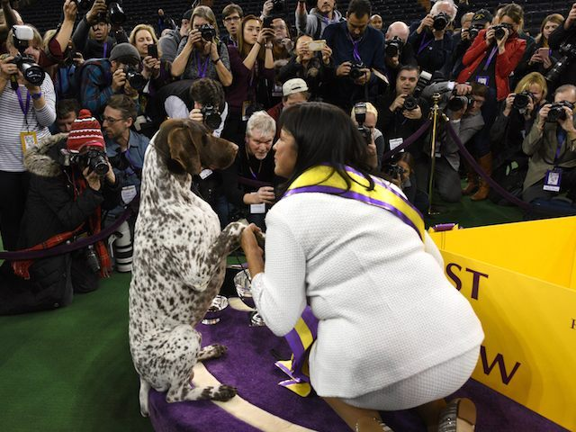 "Handler Valerie Nunes-Atkinson looks at German shorthaired pointer named C.J. after he won ""Best in Show"" of the 140th Annual Westminster Kennel Club Dog Show at Madison Square Garden in New York on February 16, 2016. The Westminster Kennel Club Dog Show is a two-day, all-breed benched show that takes place at both Pier 92 & 94 and at Madison Square Garden. / AFP / Timothy A. CLARY (Photo credit should read TIMOTHY A. CLARY/AFP/Getty Images)"