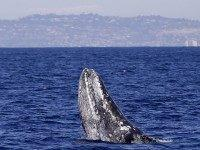 Gray whale (Gregory Bull / Associated Press)