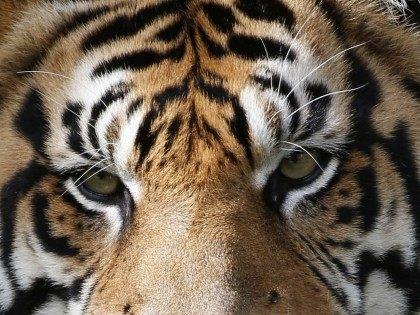 Tiger Eyes (Wilfredo Lee / Associated Press)