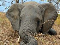 Sick Elephant AP