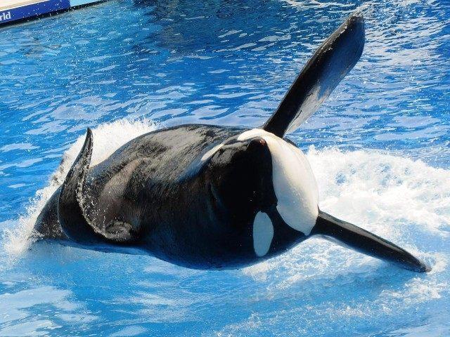 TIlikum Orca (Gerardo Mora / Getty)