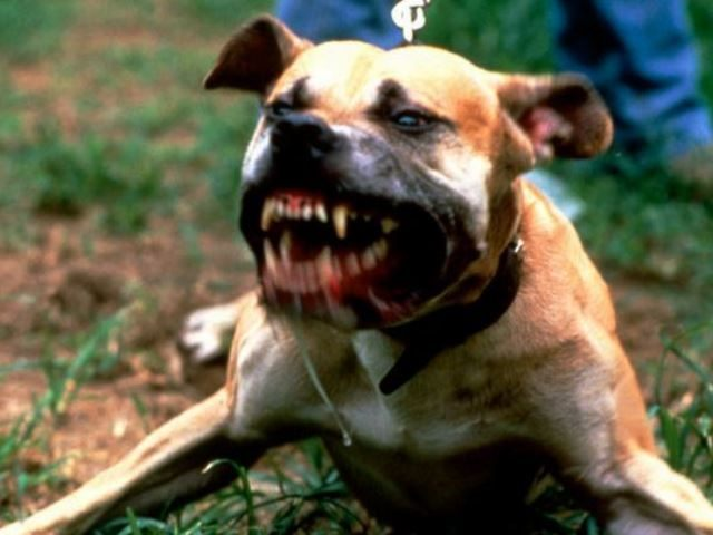 angry-dog-pic-getty-10653199