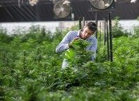 An Israeli agricultural engineer inspects marijuana plants at the BOL (Breath Of Life) Pharma greenhouse in the country's second-largest medical cannabis plantation, near Kfar Pines in northern Israel