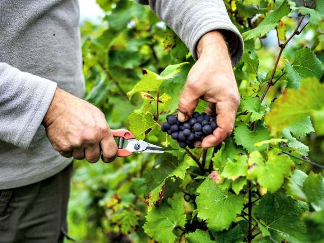 winegrapes Jeff PachoudAFPGetty Images