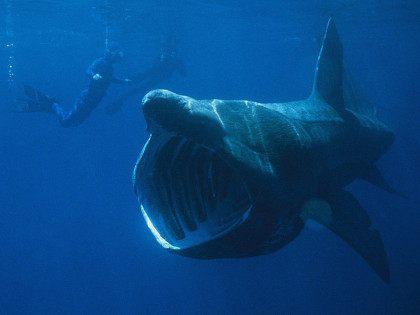 Basking shark (Chris Gotschalk / Wikimedia Commons)