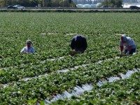 Migrant workers harvest strawberries at a farm March 13, 2013 near Oxnard, California.