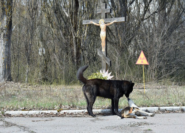 TOPSHOT - Dogs are pictured near a sign of radioactivity set near a crucifix in ghost city of Prypyat near Chernobyl Nuclear Power Plant on April 8, 2016. Ukraine is preparing to mark 30 years since the Chernobyl disaster, the world's worst nuclear accident whose death toll remains a mystery and which continues to jeopardise the local population's health. More than 200 tonnes of uranium remain inside the reactor that exploded three decades ago at the Chernobyl nuclear power plant, raising fears there could be more radioactive leaks if the ageing concrete structure covering the stricken reactor collapses. / AFP / Sergei SUPINSKY (Photo credit should read SERGEI SUPINSKY/AFP/Getty Images)
