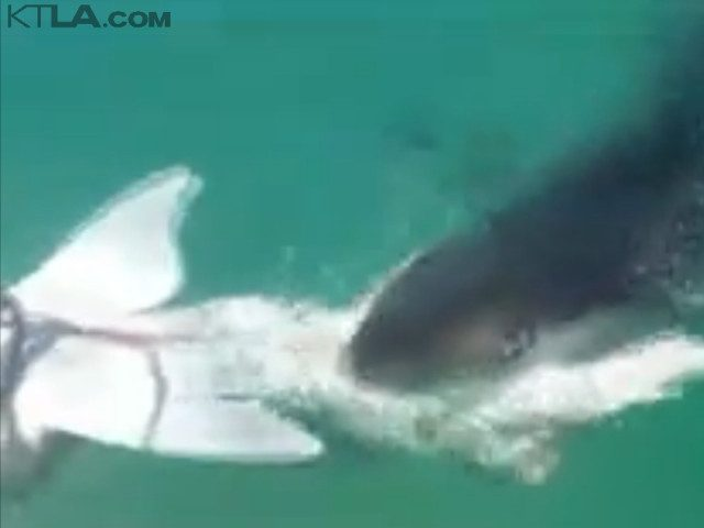 Great white leopard shark (KTLA / Screenshot)