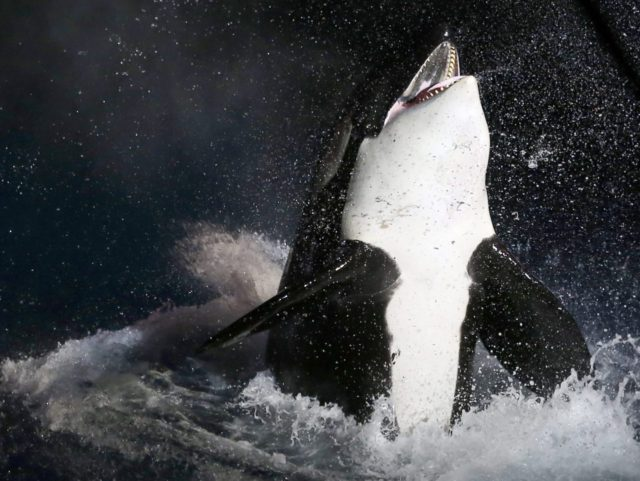 Orca killer whale (Valery Hache / AFP / Getty)