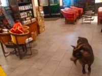 Goat in Starbucks (tennisballboy5 / Twitter)