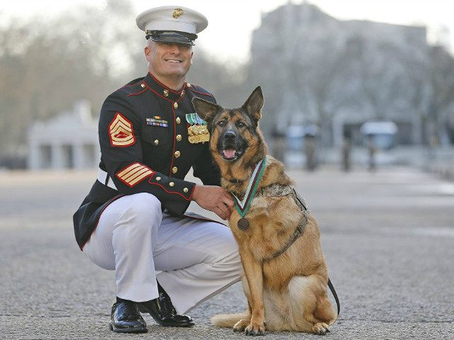 Gunnery sergeant Christopher Willingham, of Tuscaloosa, Alabama, USA, poses with US Marine dog Lucca, after receiving the PDSA Dickin Medal, awarded for animal bravery, equivalent of the Victoria Cross, at Wellington Barracks in London, Tuesday, April 5, 2016. The 12-year-old German Shepherd lost her leg on 23 March 2012, in …