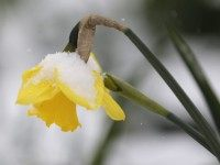 snow daffodil (Mike Groll / Associated Press)