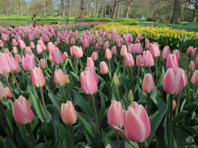 The world's largest bulb garden, which boasts some seven million flowers, has depicted in flowers this year's theme of the Netherlands Golden Age