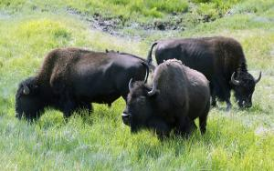 Wisconsin police warn of loose herd of 120 buffalo