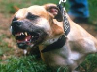 045284 06: A Pit Bull Pit bears it's teeth for attack July 14, 1987 in New York City. Bull dogs and their owners make up a special subculture in the American population of pet owners. The vicious attack dog is also member of the family. (Photo by Yvonne Hemsey/Liaison)