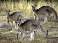 Jump-Kicking Kangaroo Ruptures Woman's Breast Implants