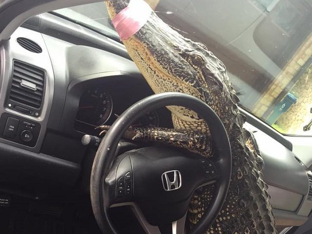 Behind The Steering Wheel : Houston area gator jumps behind steering wheel trying to
