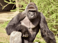 Black Outrage Over Gorilla Shot To Protect 'White Privilege'. Just One Problem…