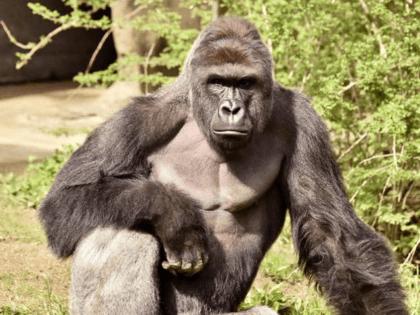 gorilla shot