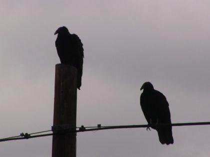 Vultures at Border