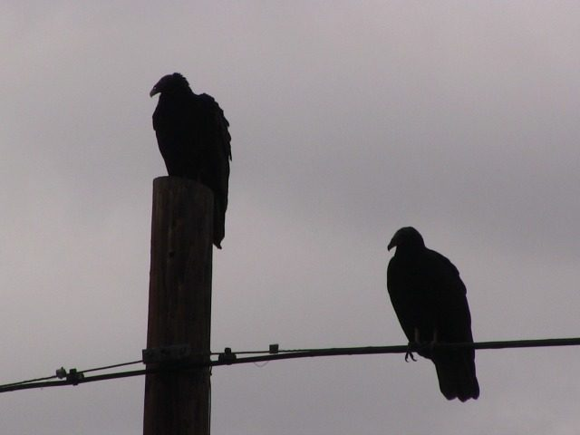 Vultures at Border