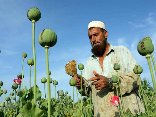 Afghanistan, Chaparh?r : An Afghan farmer harvests opium sap from a poppy field in the Chaparhar district of Nangarhar province on April 19, 2016. Opium poppy cultivation in Afghanistan dropped 19 percent in 2015 compared to the previous year, according to figures from the Afghan Ministry of Counter Narcotics and …