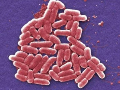 This 2006 colorized scanning electron micrograph image made available by the Centers for Disease Control and Prevention shows the O157:H7 strain of the E. coli bacteria. On Wednesday, May 26, 2016, U.S. military officials reported the first U.S. human case of bacteria resistant to an antibiotic used as a last …