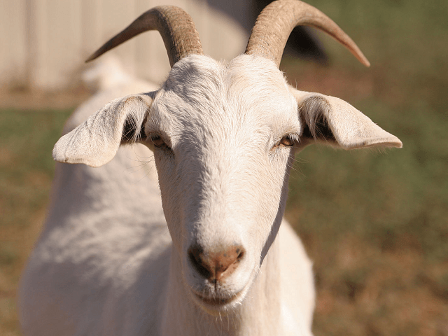 Goats and cheese test positive for coronavirus in Tanzania