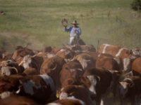 Israeli rancher moves his herd across the golan Heights