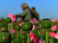 Afghan farmers harvest opium sap from a poppy field in Zari District of Kandahar province on April 12, 2016