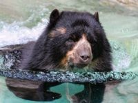 Bear in swimming pool (Tambako The Jaguar / Flickr / CC / Cropped)