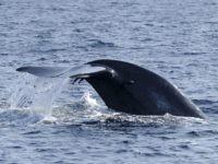 Blue whale fluke (S. Kodikara / AFP / Getty)