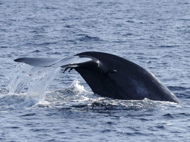 Blue whale fluke (S. Kodikara / AFP / Getty)