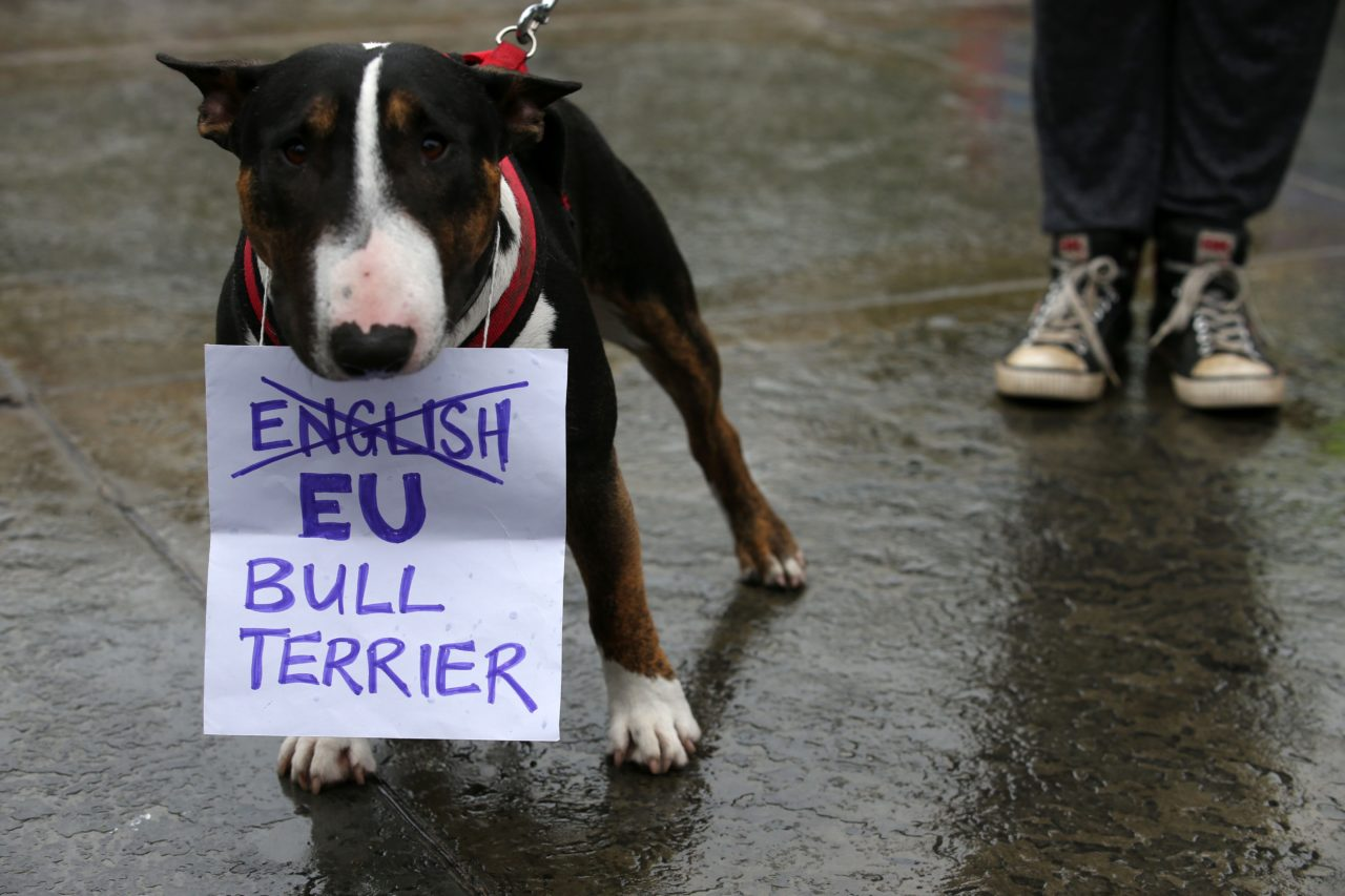 "A Bull Terrier called ""T-Bone"" holds a placard in his mouth at an anti-Brexit protest in Trafalgar Square in central London on June 28, 2016. EU leaders attempted to rescue the European project and Prime Minister David Cameron sought to calm fears over Britain's vote to leave the bloc as ratings agencies downgraded the country. Britain has been pitched into uncertainty by the June 23 referendum result, with Cameron announcing his resignation, the economy facing a string of shocks and Scotland making a fresh threat to break away. / AFP / JUSTIN TALLIS (Photo credit should read JUSTIN TALLIS/AFP/Getty Images)"