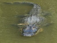 Alligator Seen With Human Corpse in Its Mouth
