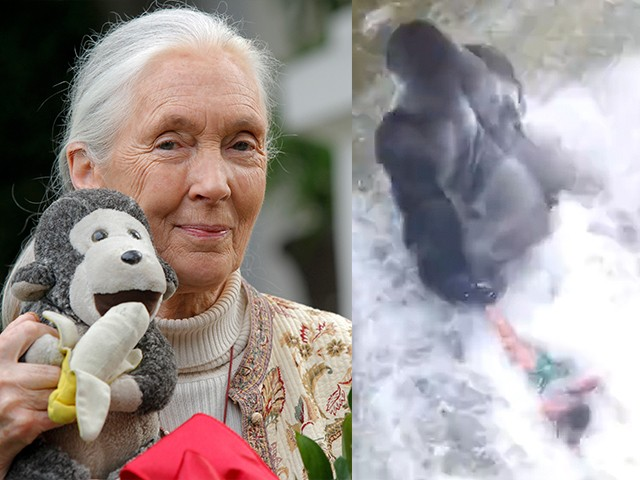 Jane Goodall The Gorilla Was Putting An Arm Round The