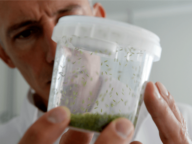 Eric Thouvenin , industrial director, shows a box with Macrolophus pygmaeus inside used against white flies and mites for tomatoes and eggplants, on 24 July, 2013 at the Biotop company's headquarter in Livron-sur-Drôme near Valence, southeastern France.